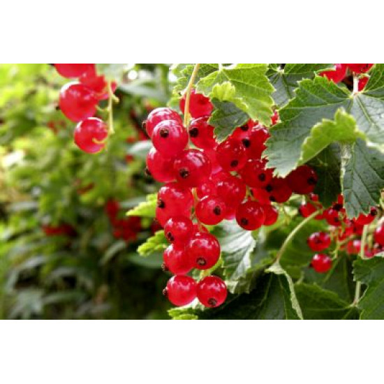 Red currant – vitamin bomb with a low calorie content